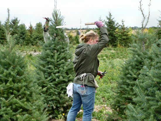 Trimming a fir tree